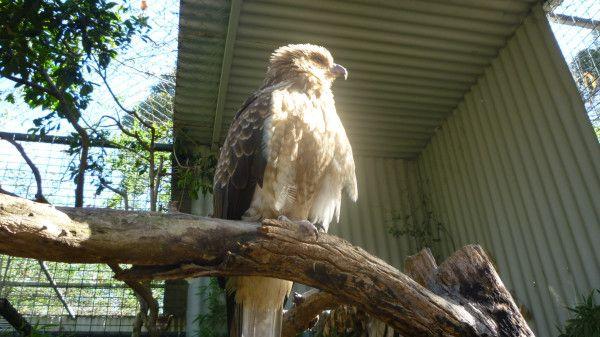 Whistling Kite, Magnificent Bird of Prey #Australia @ Featherdale Wildlife Park Best wildlife in #Sydney http://ow.ly/VYex