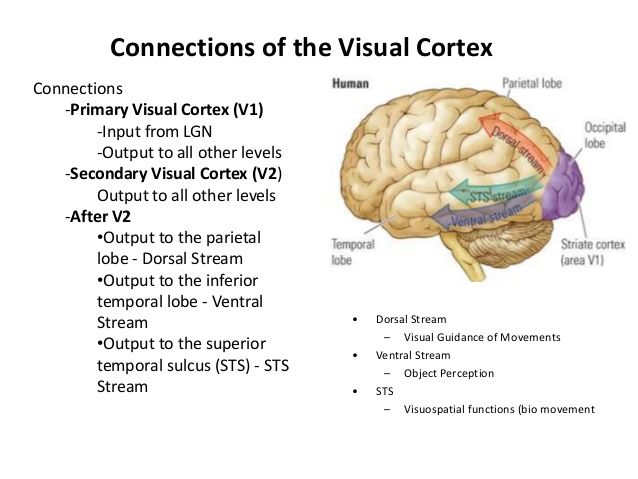 Primary Visual Cortex: part of the brain that helps identify and make sense of visual info from the eyes