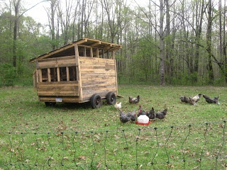 A Baker's Dozen Barnhouse News: The Chicken Concern!