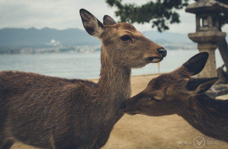 Daims sur l'ile de Miyajima, au Japon. Cute Deers on Miyajima, Japan