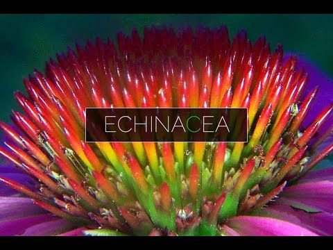 Dr. Perkins talks about how Echinacea is a VITAL part of the MitoXcell formula. #MitoXcell #Blog #Mitochondria #Echinacea #Health #Nutrition