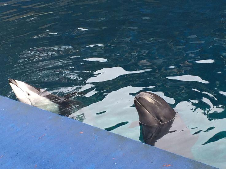 Dolphin and  false killer whale