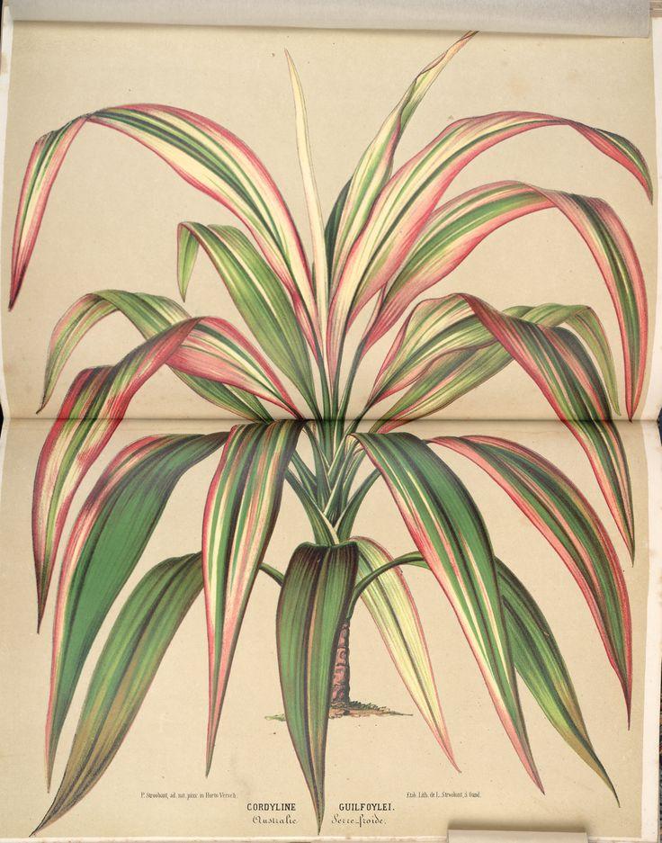 Cordyline fruticosa - circa 1869