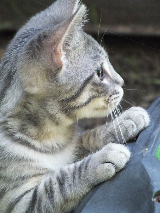 Gatinho, Tigre, Cinzento, Kitty, Gato, Gato Bebê