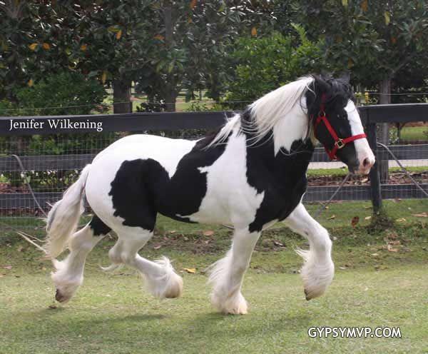 Los caballos Gypsy Vanner para la venta | Sementales | Pinto | Cielo