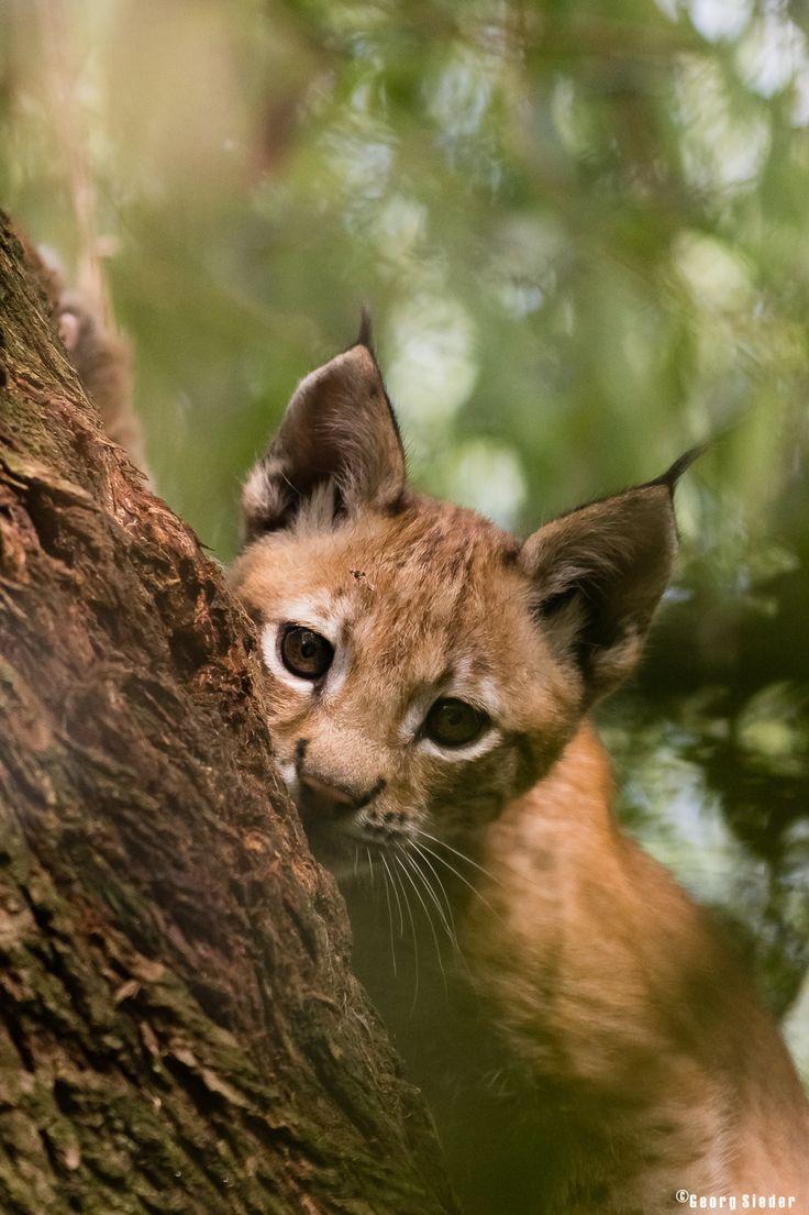 Smelt jij ook weg bij dit prachtige plaatje van een jonge lynx? (Foto: Georg Sieder)