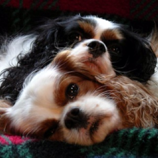little faces :) .....cavalier king charles
