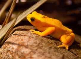 Panamanian Golden Frogs