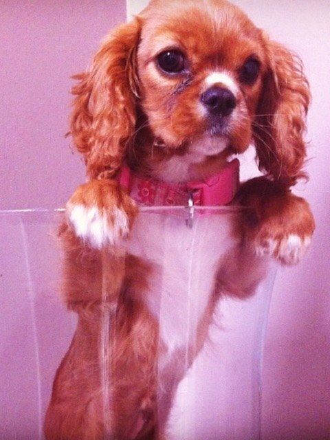 Top Cavalier Canine Adorable Dog - f8044c8462705de970627e1b3f9b6084--really-cute-dogs-so-cute  Graphic_642917  .jpg