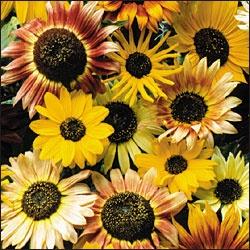 : Sunflowers Mix, Exchange Sunflowers, Sunflower Mixture, Mixture Sunflower, Mixture Seeds, Gardening, 100 Seeds, Flowers Garden, Sunflower Seeds
