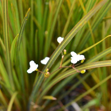 Libertia ixiodes - NZ Iris | Southern Woods