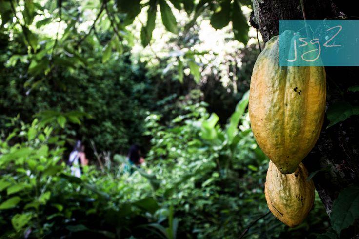 https://flic.kr/s/aHsm42dgMH | Cacao, San Juan Bautista y Chorrerón (Chuao & Choroní) | - Cacao: Chuao es sinónimo de Chocolate, de esa pulpa del cacao de donde brota  esa semilla que luego es tostada bajo el rey Sol. El incondicional Cacao de Chuao nace de un clima ideal de playa, sol y montaña. Esta fruta del cacao como tal, es más grande, aromática, jugosa y dulce, en comparación a otra. - San Juan Bautista: En el día mas largo del año se conmemora el nacimiento de San Juan Bautista…