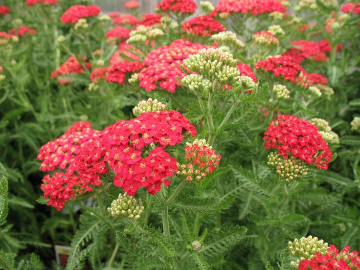 yarrow - easy to grow flowers ~ A tough and beautiful pick for any garden, Yarrow is an easy bet no matter how black your thumb may be. This plant thrives on neglect, loves poor soil, and blooms right through the summer.The foliage is ferny and lower to the ground, but the flower stalks can be anywhere from twelve inches, to four feet off the ground! It is attractive out of flower, starts early in the spring/summer, and keeps going through the fall.