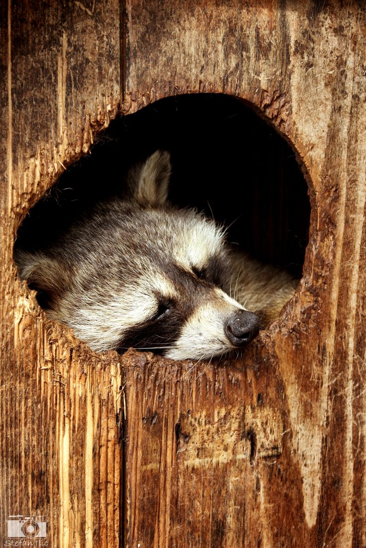 216 best Coontails! images on Pinterest | Raccoons, Racoon and ...