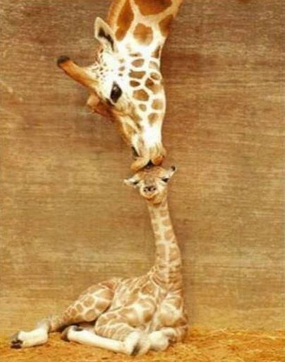 This is Misha kissing her new born baby calf  #giraffe #nature #cuteanimals #cute