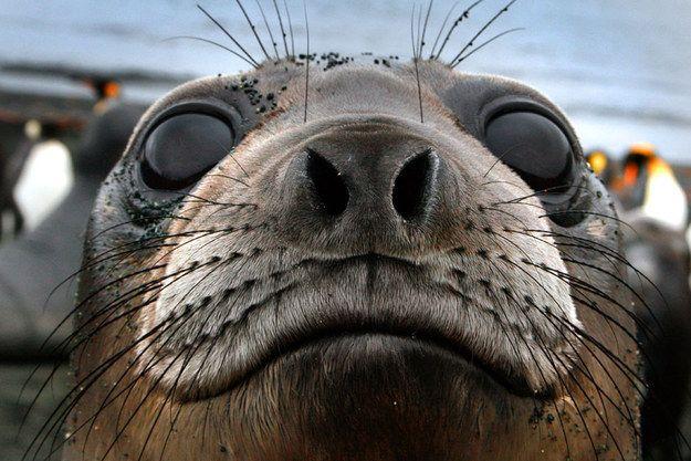 """Os elefantes marinhos são as maiores focas do mundo, e as que mergulham mais fundo. Eles têm enormes olhos que os ajudam a enxergar em profundidades de 1500 metros ou mais dentro do oceano, quando eles mergulham para caçar comida. """"Os olhos deles fazem deles adoráveis"""", disse Vandyke."""