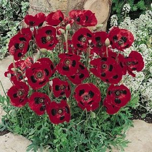 Lady Bird flanders poppy seeds - LADY BIRD Flanders Poppy Seeds Papaver commutatum  Grows to 18 inches tall and produces a wealth of Fire Engine red flowers with	a distinct black blotch at the base of each petal. Packet is ½ gram, about 3,000 seeds.