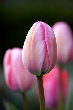Pink Tulips / Roze Tulpen