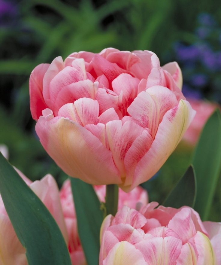 109 Best Pink Tulips Images On Pinterest