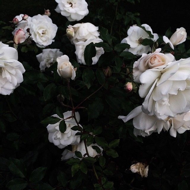 ❈ Fleurs Foncées ❈ dark art photography flowers & botanical prints - morning blooms by jessicacomingore on instagram