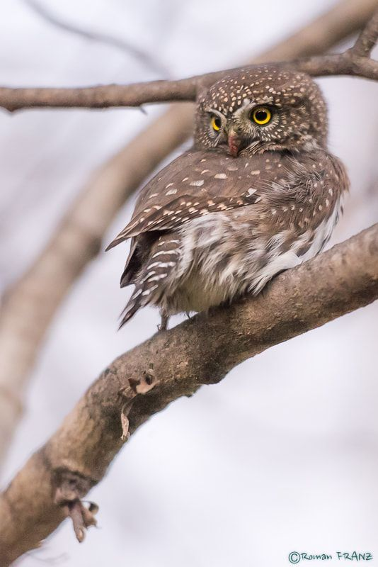 Northern Pygmy Owl - null