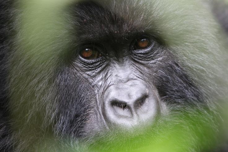 Silverback in the virunga national park, DRC