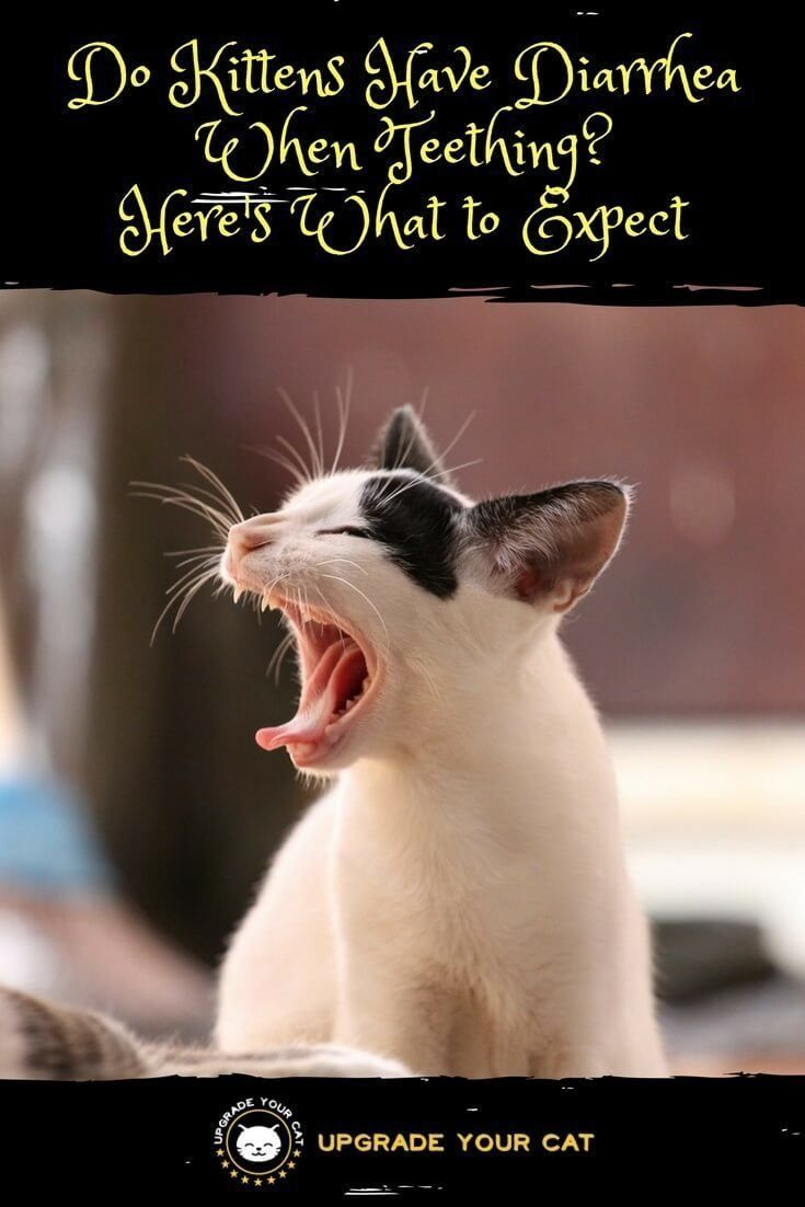 Do Kittens Have Diarrhea When Teething Upgrade Your Cat Cat Yawning Cat Care Cats