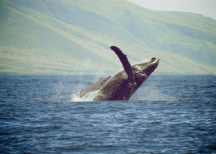 Photographer Pernille Westh | Humpback Whale breaching photographed in Hawaii · Get my 7 FREE basic photography tips - you need to know! http://pw5383.wixsite.com/free-photo-tips