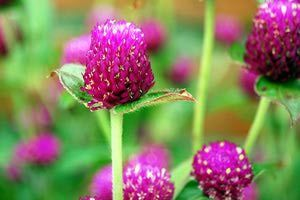 The Drought Tolerant Globe Amaranth - Gomphrena Globosa