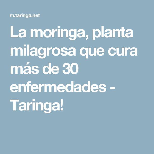 La moringa, planta milagrosa que cura más de 30 enfermedades - Taringa!