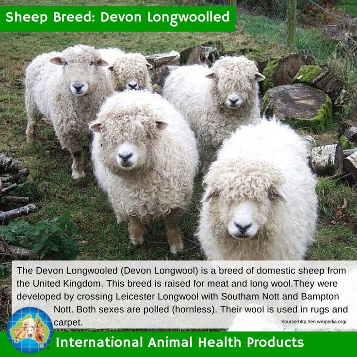 #devonlongwoolledsheep #devon #longwoolled #devonlongwoolled #sheep #ram #ewe #lamb #sheepbreed #breed #facts #green #iah #iahp #internationalanimalhealth #poultry #animal #facts #breeds #livamol #protexin