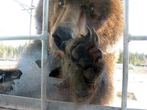 Голодный медведь в моём окне