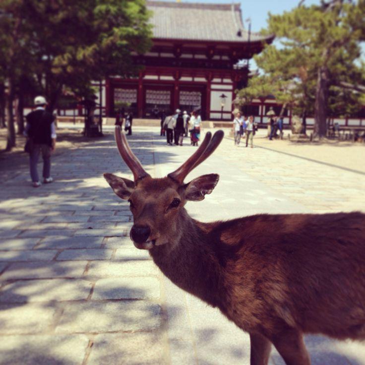 Deer in Nara.