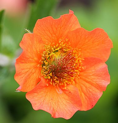 """Geum coccineum 'Totally Tangerine' - Bountiful masses of juicy apricot blooms on 24-30"""" branching stems add a splash of cheer for months & months on what may be the most FLORIFEROUS & LONG BLOOMING Geum ever!"""