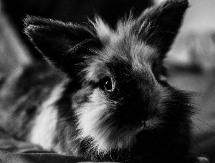 Brown and white lionhead rabbit - photo#52