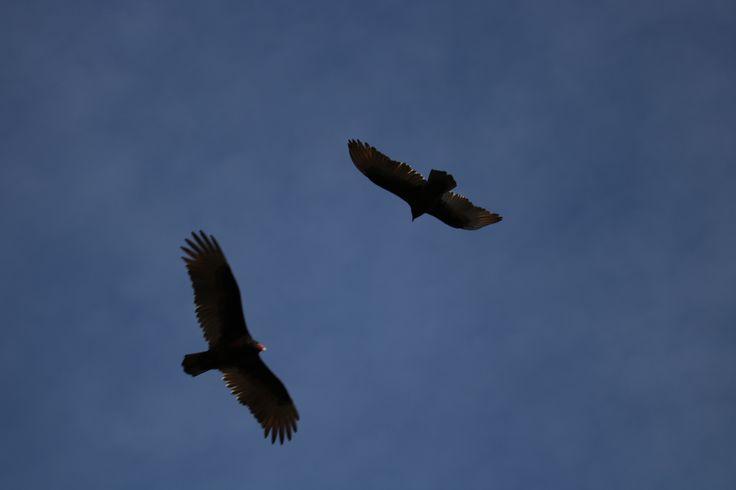 Hawks Saying Hello