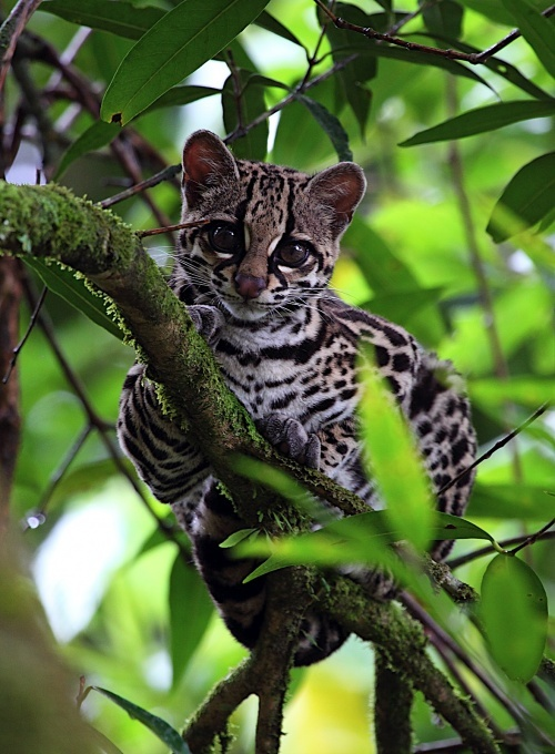 Oncilla (Leopardus tigrinus), found in Central American and the Amazonian Basin of South America.