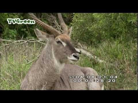 Wild Peers: Krugerpark Zuid Afrika - YouTube