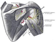 Injury_of_axillary_nerve