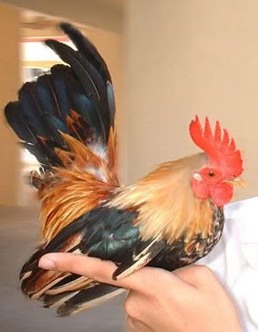 I want one as a pet  (a minny rooster alarm clock) wt 500g LOL  Serama Chicken.  Judi is going to kill me if I get one LOL