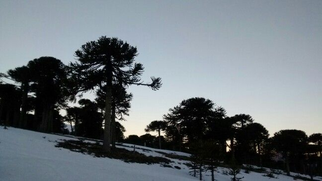 Araucarias camino Corralco, region de la Araucania Chile