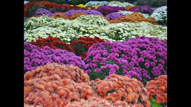 Awesome and Pretty Chrysanthemum Flowers Japan's