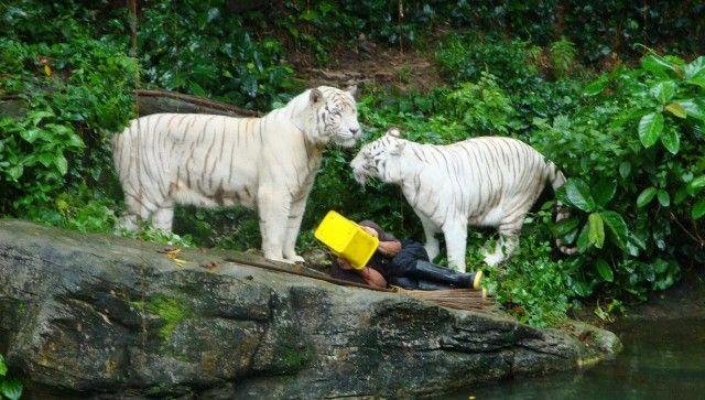 Nel 2009 Nordin Montong è stato sbranato dalle tigri in uno zoo di Singapore. La sua morte è stata ripresa in un video ed è stata catalogata come suicidio.