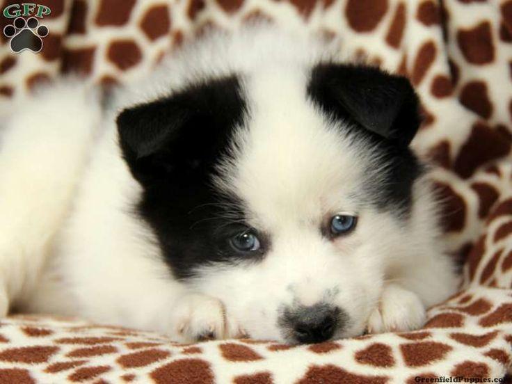 Pomsky Puppies For Sale Montana USA