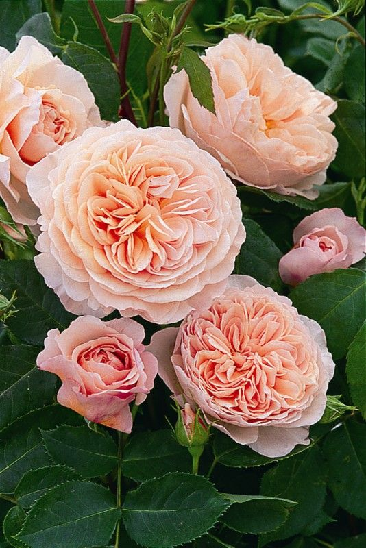 William Morris roses (David Austen)