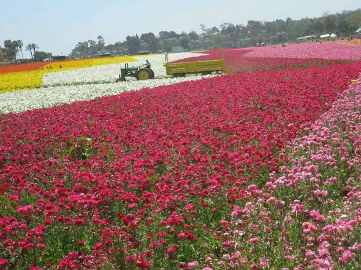 The Flower Fields, Carlsbad, CA.