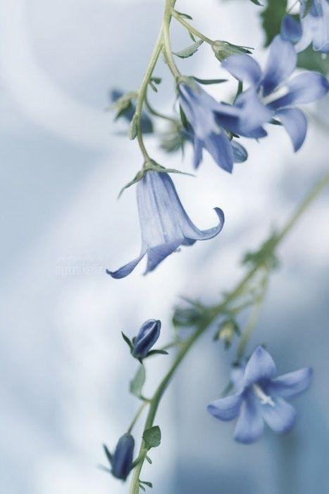 Bluebells in spring - @~ Mlle