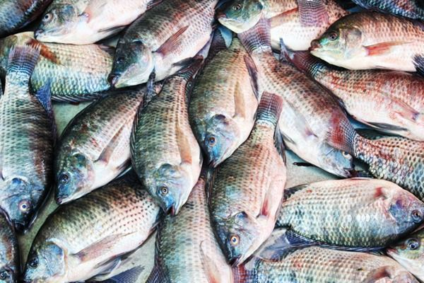 Research has found the inflammatory potential of farmed tilapia to be greater than a burger, doughnuts—even pork bacon! It gets worse.