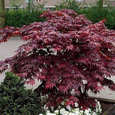 10+ Bloodgood Japanese Maple Tree Seeds , Under The Sun Seeds