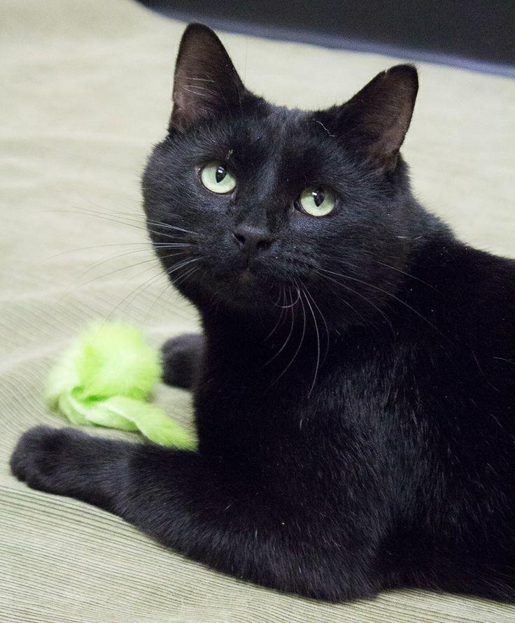 Black  Cat, Look's like Shadow my Folk's cat.